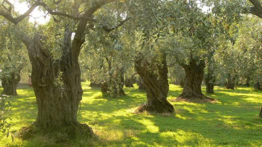 Olive_trees_on_...