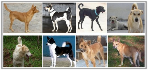 Pariah Dogs with different colour and coats