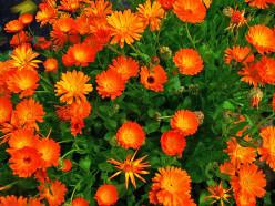 Medicinal Plants- Calendula