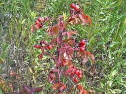 Medicinal Plants- Rose Hips