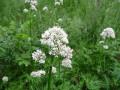 Medicinal Plants- Valerian