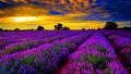Aromatherapy- Lavender Oil