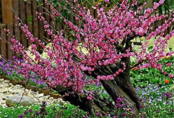 Floral Remedies- Cherry Plum