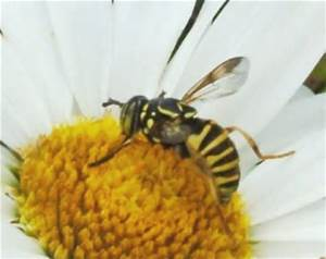 Hornet Wasp and Flower