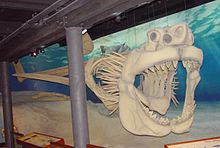 Reconstructed Skeleton of a Megalodon shark.