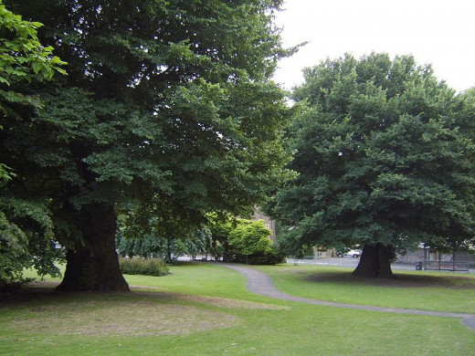 These elms growing in  Preston Parks,Coronation Garden at Brighton {south coast of England} are considered to be the largest elms in the world.