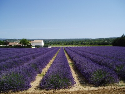 Lavender field in South France.