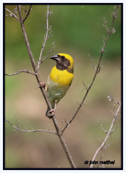 Baya Weaver Male Bird