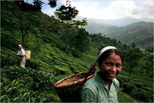 Tea Garden - Darjeeling District West Bengal in India