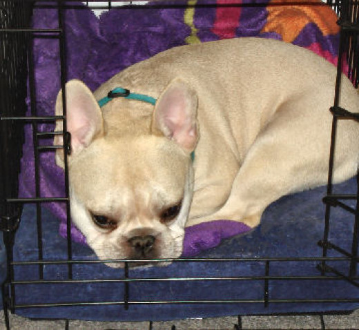 My dog Teddy (French Bulldog) in his crate for a nap. He loves his crate and opts to go in it to relax - even when the door is open.