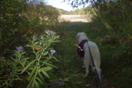 With K2 on a long leash, I am able to document presence of various wildflowers in the region.