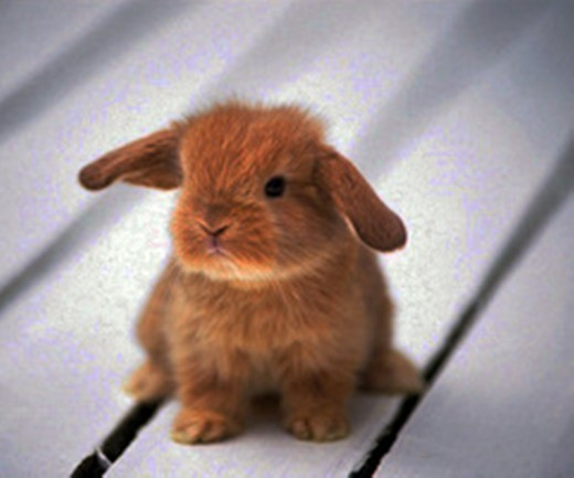 A baby lop-eared rabbit