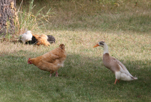 Amigo the Indian Runner Duck with his first chicken family.