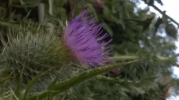 RefRame Thistle 930