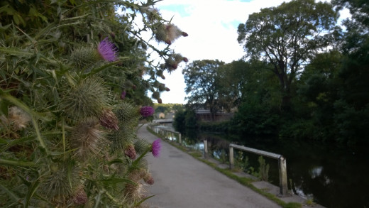 Thistles by the Bank 930