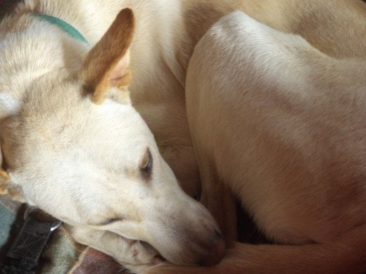 Rescued Pet Dogs Show Us Their Gratitude In Many Ways- Snoozing Shamu