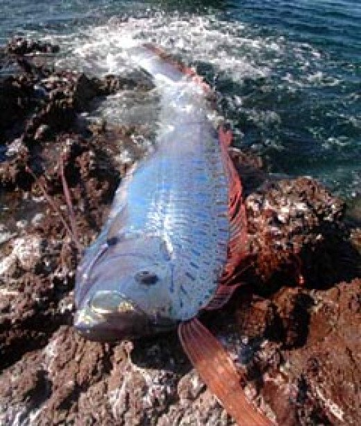 Oarfish stranded on a rocky shore