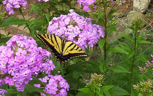 Flowers in the summer with Monarch butterfly. Previous family planted them. We enjoy them.