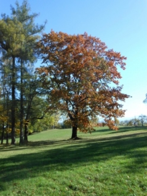 Oak trees in the park in the fall