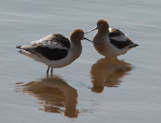 American Avocets, Breeding Plumage