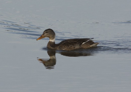 Mallard x Northern Pintail