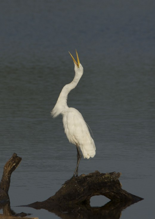 Great Egret Makes You Laugh