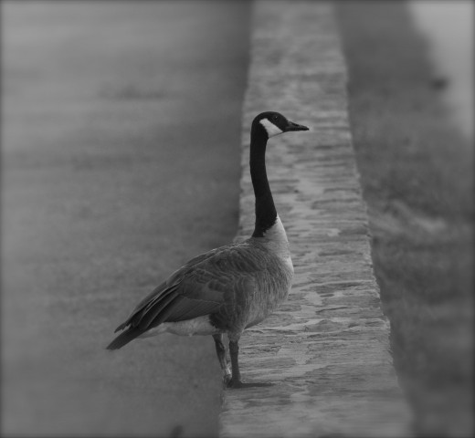 """Canada Goose """"One On the Wall"""""""