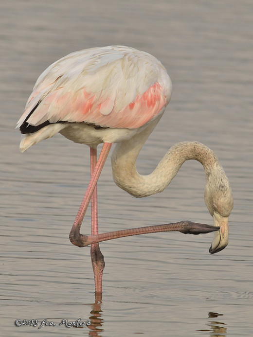 It's flamenco not flamingo!