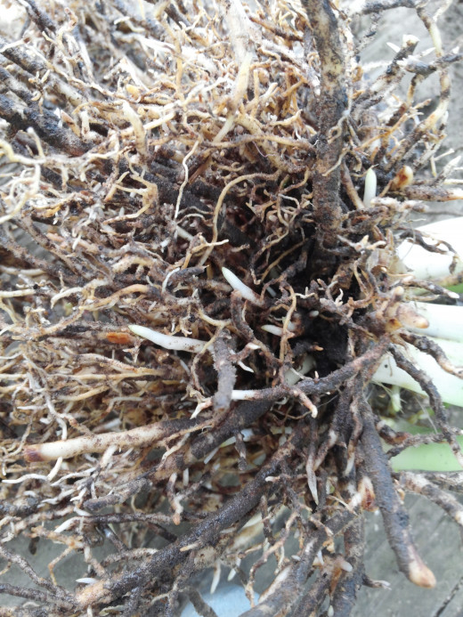 New white roots growing on hosta clump