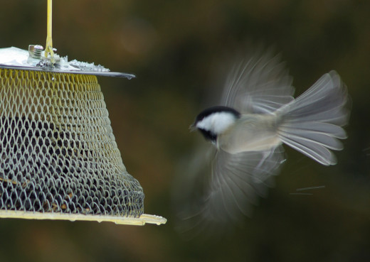 Sightings at backyard winter bird feeder in Vermont: Black-capped chickadee (Poecile atricapillus) [Sunflower seed]