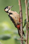The Great Spotted Woodpecker: Both A Hero And A Villain