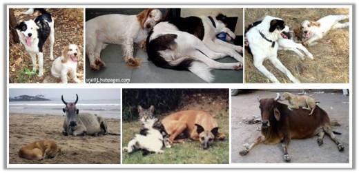 Friendly Pariah Dogs