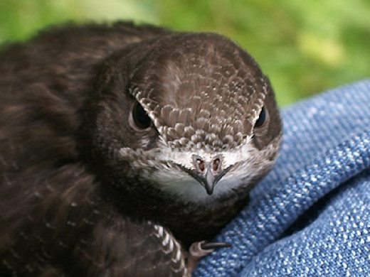 Close up like this are extraordinarily rare, as swifts spend virtually their entire lives in the air, only landing at their nests when breeding. This bird, incidentally is a young, unable to fly as of yet.
