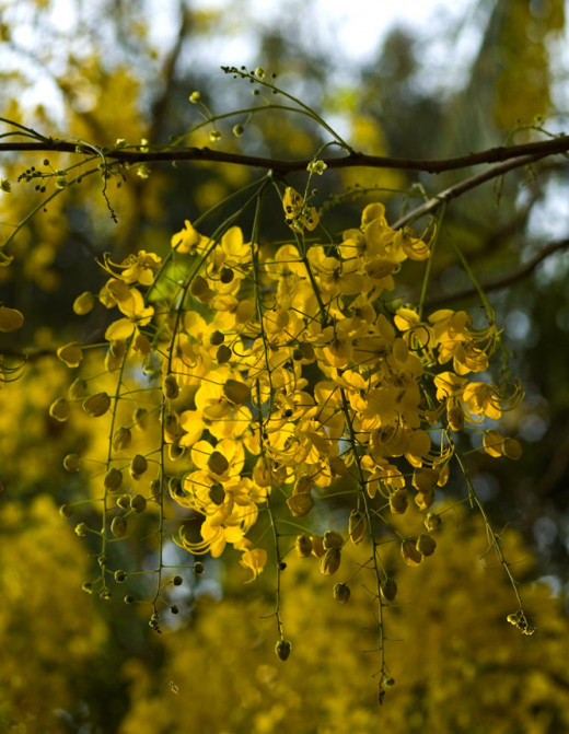 A very Happy Vishu to my Malayalee friends! Vishu is the first day of the Malayalm Calendar falling on the 14th of April, the day after Bishakhi in Punjab.Flowers of the Indian Laburnum, Amaltas or the Golden Shower Tree (Cassia fistula) represent th