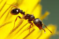 How to Get Rid of Sweet Ants