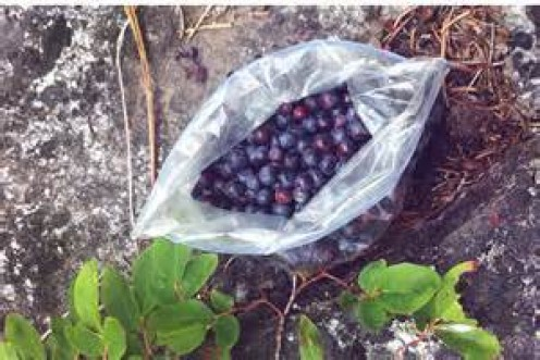 Huckleberries grow wild on bushes.