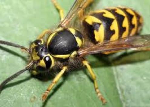 A ground wasp at  seeking food.