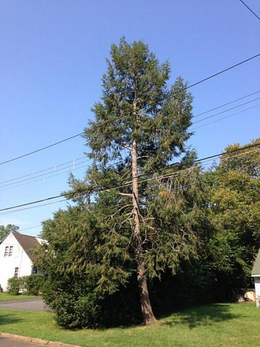 Eastern hemlock on Meridan Avenue,Ewing New Jersey