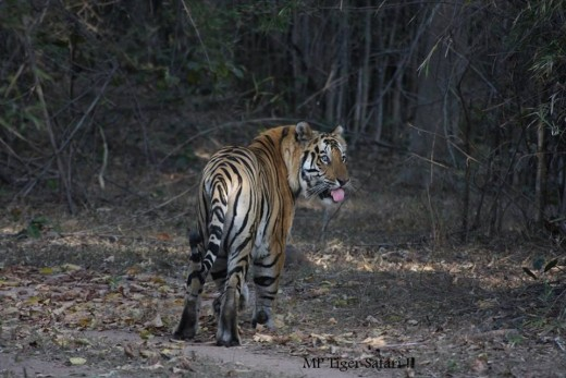 Male Tiger at Khitauli