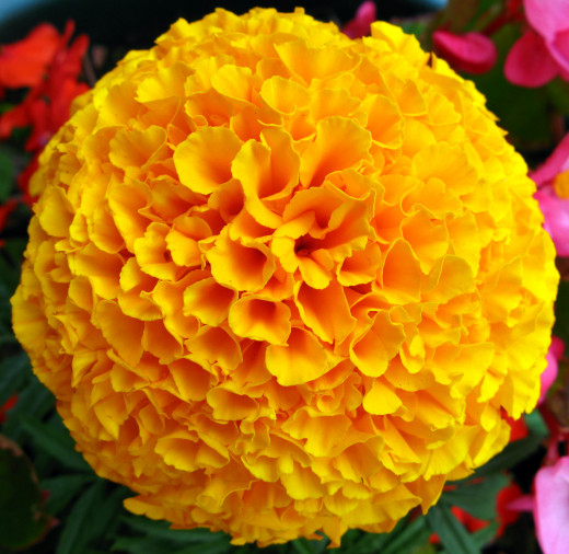 The Marigold  flower was growing in a patio pot. Flower and leaf are useful home remedies.