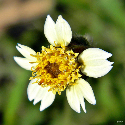 "Wikipedia states ""Tridax procumbens is known for several potential therapeutic activities like antiviral, antibiotic efficacies, wound healing activity, insecticidal and anti-inflammatory activity. Some reports from tribal areas in India state that t"