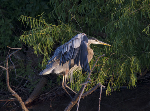 Great Blue Heron Just Chased Green Heron Off the Snag