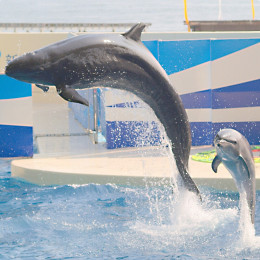 A false killer whale and bottlenose dolphin in captivity