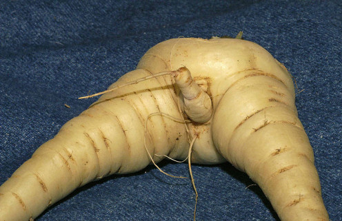 It's just a parsnip (CC-BY 2.0)