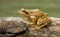 A Guide To The Amphibians Of Britain
