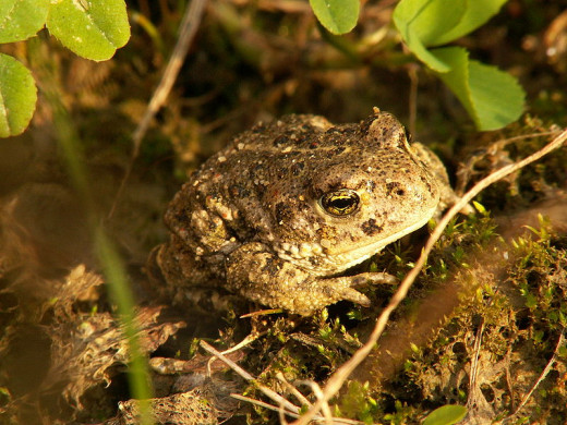 A natterjack toad is fully grown when four or five years old. Calamita, the species name, is from calamus, a reed. Natterjack toads often like to hide among reeds.