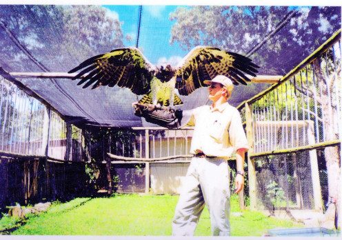 Blondie, a female Martial Eagle.
