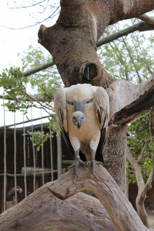 A Cape Vulture, classed as a vulnerable species by the IUCN, with its population on the decline.