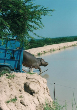 Release of a hippo relocated after causing friction with a farmer.