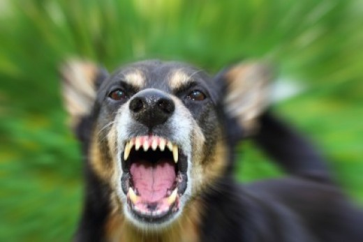 Learn more about dealing with dog aggression from a dog trainer.